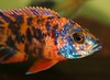 African Cichlid (kotobuki711) Tags: blue red orange pet fish black male green water yellow aquarium tank african scales iridescent speckled fins cichlid obpeacockcichlid