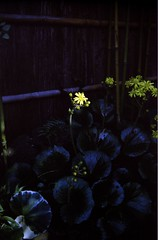 mysterious color (Rollei B35) (potopoto53age) Tags: plant flower color film japan kodak mysterious 40mm yamanashi kofu helluva gold200 triotar rolleib35 potopoto53age