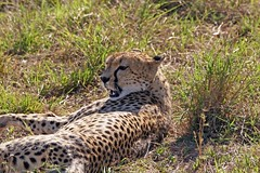 Finally Off. (Picture Taker 2) Tags: africa nature colorful pretty native wildlife cheetah wilderness plains predator upclose mammals bigcats wildanimals