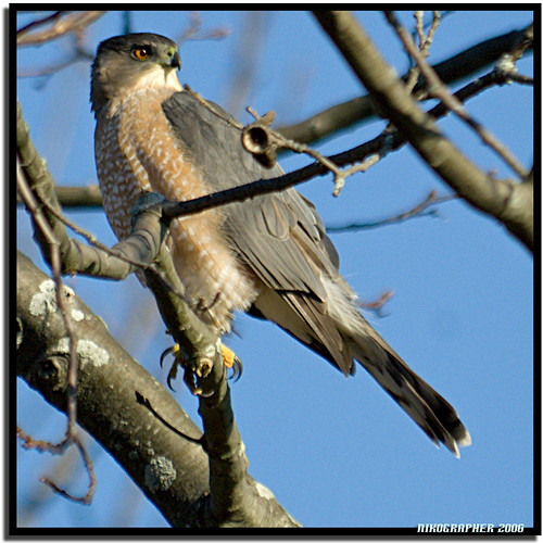 Cooper's Hawk @ Portland Maine