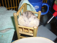 Snoozing Pudding on bamboo chair (jade_c) Tags: pet animal mammal rodent chair singapore sleep pudding hamster roborovski  dwarfhamster  roborovskihamster impressedbeauty phodopusroborovskii whitefaceroborovskihamster
