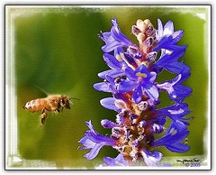 The Bee and the Pickerel Weed (Michael Pancier Photography) Tags: nature photoshop watercolor digitalart fineartphotography naturephotography seor lucisart naturephotographer autofx floridaphotographer pancier michaelpancier michaelpancierphotography wwwmichaelpancierphotographycom seorcohiba