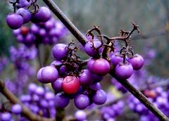 Callicarpa (jacki-dee) Tags: november usa fall oregon berry purple bokeh pacificnorthwest 06 beautyberry callicarpa inedible kiss2 americannative profusion catchycolorspurple callicarpabodinieri fall06 kiss3 kiss1 kiss4 kiss5 abigfave november06 bodinieri fave30 jackidee wermsrus callicarpabodinieriprofusion giraldii kinaililabogyó callicarpabodinierivargiraldiiprofusion