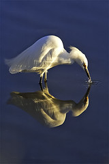 Snowy Egret (copeg) Tags: sanfrancisco california bird nature topf25 bravo snowy quality wildlife bayarea palo alto egret snowyegret baylands paloaltobaylands helluva egretta thula specanimal abigfave impressedbeauty