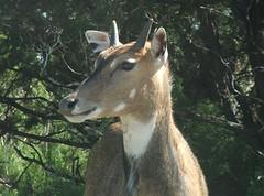 I'm not as horny (Lenzman) Tags: animals wildlife drivethru texaspark