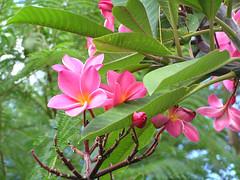 Pink blossoms (Rol247*) Tags: travel grancanaria island spain holidays blossom kanaren canarias espana canaries spanien kanarischeinseln jardincanario canarys granacanaria