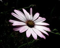 Lavender Elegance (`Loriel) Tags: flowers flower nature lovely1 lavender fujifilmfinepixs5100 lavenderpetals abigfave