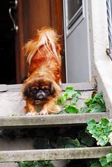 stretch (taminsea) Tags: red dog baby macro stairs nikon stretch pekingese d200 bestfriend doggie copyrighted peke taminsea1 tokina100mm taminsea tamelawolff tamelajwolff tamelajwolffphotography
