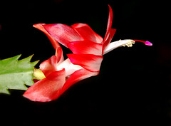 More Cactus Color (Jeff Clow) Tags: cactus color macro floral closeup bravo searchthebest explore blackground weeklysurvivor excellence magicdonkey instantfave nikkor18200mmvr specnature abigfave nikond80 frjrc
