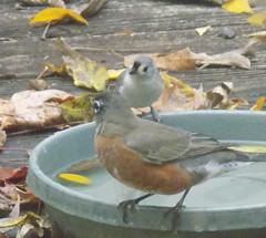 blogDSCN8015 (CarverS2) Tags: birds american robin titmouse