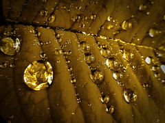 Golden rain (*atrium09) Tags: travel flowers macro hoja nature topf25 gold leaf drops lluvia topf50 topf75 bravo searchthebest topv1111 topv999 canarias olympus gotas tenerife topv777 1000v100f topf150 topf100 excellence magicdonkey specnature atrium09 challengeyouwinner mywinners abigfave shieldofexcellence ganadoradelicatessen ltytrx5 anawesomeshot impressedbeauty aplusphoto ltytr1 ultimateshot goldenphotographer goldenphotographer flickrchallengegroup flickrchallengewinner 15challengeswinner 15flickerchallenge rubenseabra theroadtoheaven