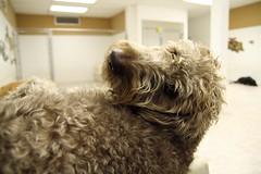 Yo, Over Here (Back in the Pack) Tags: dog calgary dogs puppy head 1750 labradoodle glance sideways dougal dogdaycare wwwdogdaycareca tamronspaf1750mmf28 wwwbackinthepackca albertabarks