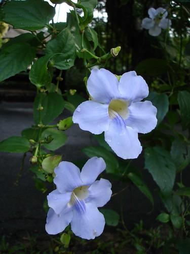 Thunbergia grandiflora