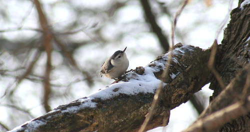 white-breasted nuthatch snow