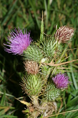1276051431 Thistle 2007-08-29_19:19:17 Greenham_Common