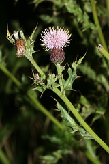 1276112625 Creeping_Thistle 2007-08-29_19:45:41 Greenham_Common