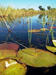 Okavango Delta - Botswana (geoftheref) Tags: africa travel mer lake green water de mar interestingness amazing interesting meer flickr mare lily desert delta safari afrika botswana kalahari okavango pictureperfect damncool smorgasbord masterclass 여행 áfrica lafrique blueribbonwinner supershot amazingtalent amazingshot flickrsbest ngami 아프리카 fineartphotos masterphotos abigfave geoftheref overzees nikoniste platinumphoto anawesomeshot impressedbeauty flickrbest dellafrica ultimateshot flickrplatinum ultimatshot superbmasterpiece naturefinest infinestyle diamondclassphotographer flickrdiamond ysplix ilovemypic сафари masterphoto overtheexcellence afrikasafari африки theperfectphotographer 원정 naturemasterclass natureelegantshots τησ awesomeblossoms σαφάρι αφρικήσ アフリカのサファリ goldenvisions