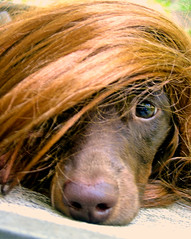 Mr. Ted and his wig (Doxieone) Tags: dog interestingness teddy c dachshund explore v final exploreinterestingness trump 1002 onexplore final2 topfavorite explored 3341012 1016111 halloweenset teddyset