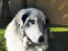 Bowbow flirts (jimhankey) Tags: dog cute beautiful topv111 happy sweet shepherd canine bignose aussie australianshepherd playful merle beautifuldog phoenixarizona rarebreed bowbow bluemerle australiansheepdog phoenixaz happydog smilingface blacknose whitefur happyeyes sweetdog kindeyes playfuldog whiteandgrey canonpowershots3is hairydog sweetestdogonflickr whiteeyebrows jimhankey httpwwwflickrcomphotosjimhankeysets72157601048705156 phoenixariz