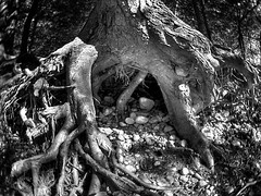 back to our roots (kazatzka) Tags: park wood blackandwhite tree leaves contrast forest woods rocks noiretblanc stones roots fisheye dirt busy utatainhalf