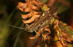"Field Grasshopper (Chorthippus brunneus) • <a style=""font-size:0.8em;"" href=""http://www.flickr.com/photos/57024565@N00/265184156/"" target=""_blank"">View on Flickr</a>"