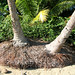 Palm tree root balls, Playa Uvita, Costa Rica