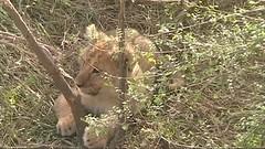safari006