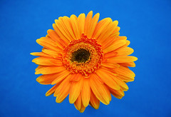 Gerbera (bettybraun) Tags: blue orange flower colorful gerbera supercolored complementarycontrast colorrocks einstiegabi einstiegabimnchen komplimentrkontrast bathedincolors