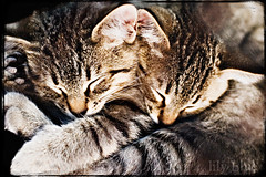 two heads are better than one ({leah}) Tags: kittens twoheads sosweet sundayouting littlefurballs