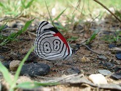 Beautiful 88 (Ana Guzmn-Moreno) Tags: mxico butterfly mexico 88 mariposa favorita insecto espetacular diaethriaclymena anita1992 naupan diaethriaclymenabutterfly naupanpuebl