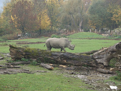 Rhino at the Salzburg Zoo