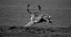 male deer running (Dave Road Records) Tags: ireland dublin nature animals wildlife deer phoenixpark