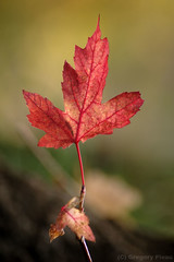 Autumn, Canadian Style (Gregory Pleau) Tags: autumn red ontario canada geotagged leaf maple nikon geocaching bokeh flash d70s niagara jordan geocache waterfronttrail transcanadatrail interestingness357 i500 explore04nov2006 gcycj1 gregorypleau