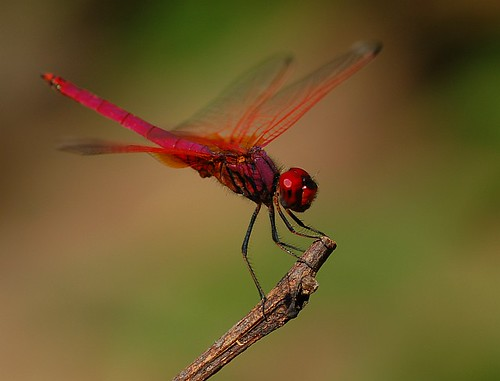 chatur, aka dragonfly