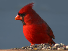 Beautiful Morning Cardinal (nature55) Tags: germantown nature birds wisconsin outdoors bravo aves ornithology northerncardinal specanimal animalkingdomelite
