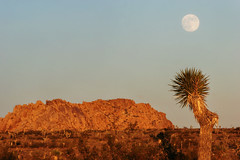 j-tree sunset moonrise (Sara Heinrichs (awfulsara)) Tags: california sunset moon topf25 joshuatree fullmoon joshuatreenationalpark