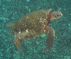 big turtle (bluewavechris) Tags: ocean life blue sea brown green eye water hawaii marine underwater turtle reptile shell diving maui snorkeling fin reef creatures flipper