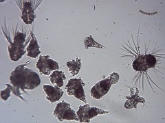 20061107 sta 5 plankton tow pm 100x (OHS Env Sci) Tags: lake merritt plankton