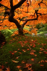 Autumnal Maple by Zeb Andrews