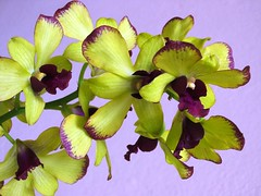 Dendrobium Chaisri Gold 'Hawaii' (jayjayc) Tags: plant orchid flower yellow garden multicoloured explore malaysia tropical kualalumpur dendrobium tropicalgarden macroflower dendrobiumchaisrigoldhawaii explore20061111 jjsgarden jayjayc
