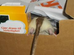 Make your dreams come true (majsen) Tags: rodent funny rats cereals petrats