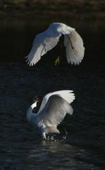 A Little Action on the Sugo River 1 (jcowboy) Tags: white bird heron nature birds animal animals japan outdoors wings wildlife wing 2006 egret okazaki herons egrets