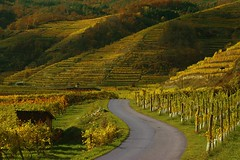 (vismund) Tags: autumn fall vines wine wachau autria
