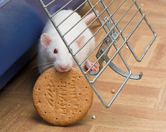 The Great Biscuit Robbery (2) (dallsoppuk) Tags: rat rats cute debs debbie biscuit robbery pet pets