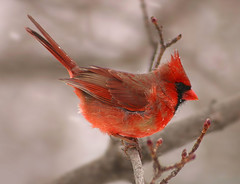 First Snow for the Cardinal (nature55) Tags: autumn snow bird germantown nature wisconsin wow outdoors bravo cardinal quality wildlife aves ornithology outstandingshots specanimal animalkingdomelite nature55 abigfave abigfav