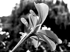 Fleur du Mal (Master Mason) Tags: flowers bw white black flower macro fleur fleurs photoshop psp hungary noir balcony budapest bn fiori fiore blanc bianconero biancoenero baudelaire terrazzo balcone ungheria bbhotel mastermason