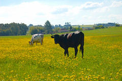 Campo fino (Eduardo Amorim) Tags: brazil southamerica brasil ganado riograndedosul vaca vacas campanha brsil amricadosul amriquedusud sudamrica gado suramrica amricadelsur sdamerika costadoce americadelsud turuu americameridionale eduardoamorim
