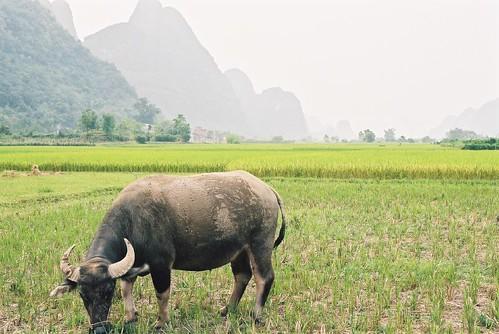 Yangshao