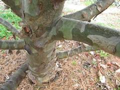 Pinus bungeana bark