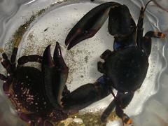Crabys (Feita) Tags: chile crab crustacean papudo cangrejos crustaceos